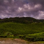 landscape, travel, wildlife, cat, Malaysia, Cameron Highlands