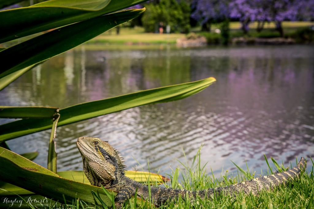 Brisbane, UQ, water dragon