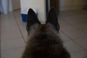 Koda, wolf, woof