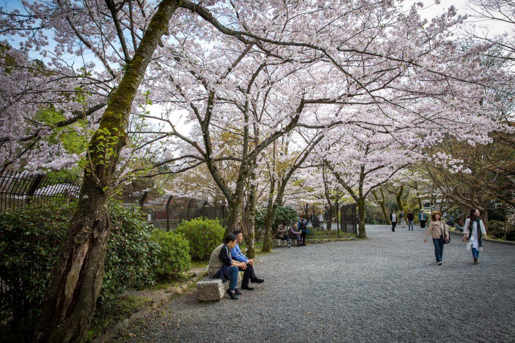 cherry blossom, sakura, hanami