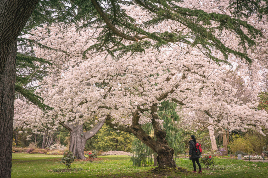 A cherry blossom in Christchurch Botanic Gardens